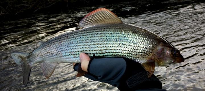 Ronsfishing Taff Grayling