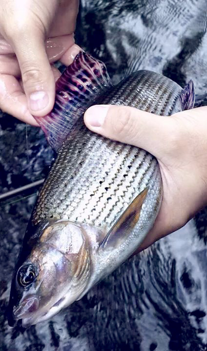 Grayling Fishing Ronsfishing