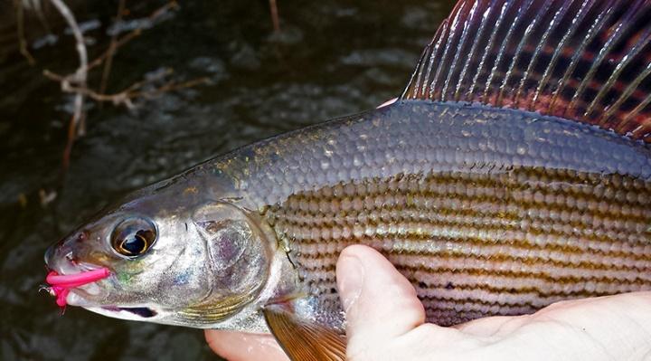 Kieron Jenkins Grayling Fishing Squirmy Worm