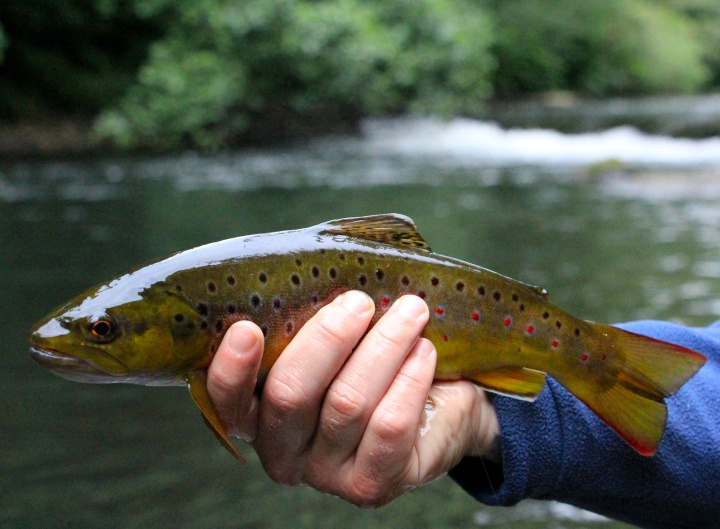 River Ebbw Brown Trout
